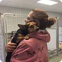 Adopt A Pet :: Ginger - Big Spring, TX