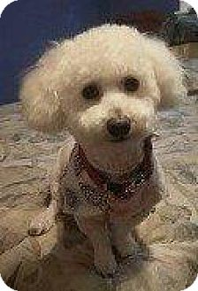 Bichon Frise/Poodle (Standard) Mix Dog for adoption in Hampton, Virginia - WHAMMIE