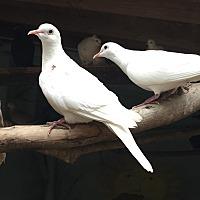 Adopt A Pet :: Doves - calimesa, CA