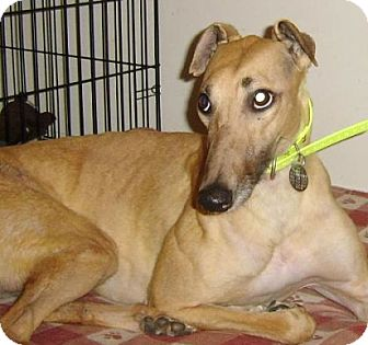 Greyhound Dog for adoption in Knoxville, Tennessee - Wailea