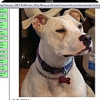 Pit Bull Terrier Dog for adoption in Millbrook, New York - Toby - Sweet Boy!