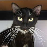 Adopt A Pet :: Whiskers - Libby, MT