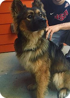 Keeshond Mix Dog for adoption in Austin, Texas - Drake