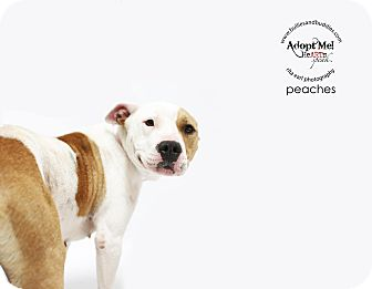 Pit Bull Terrier/Bull Terrier Mix Dog for adoption in Redondo Beach, California - Peaches-ADOPT Me!