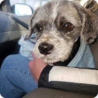 Adopt A Pet :: Comet- A Special Little Dog - Union Grove, WI