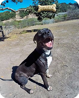American Pit Bull Terrier/Border Collie Mix Dog for adoption in Los Olivos, California - Stetson