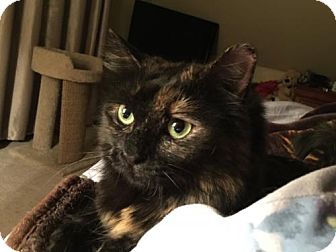 Domestic Mediumhair Cat for adoption in Absecon, New Jersey - MacKenzie