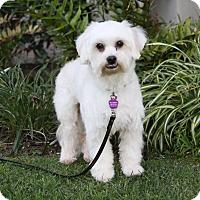 Adopt A Pet :: LOUIE - Newport Beach, CA