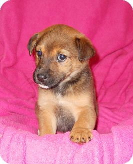 Rat Terrier Mix Puppy for adoption in River Falls, Wisconsin - Powder
