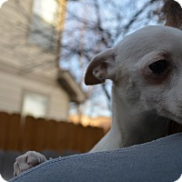 Adopt A Pet :: Holly - Westminster, CO
