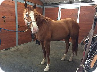 Quarterhorse Mix for adoption in Santa R0sa, California - Nemo