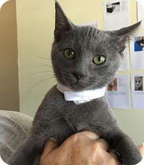Domestic Shorthair Kitten for adoption in Wichita, Kansas - Li Sing