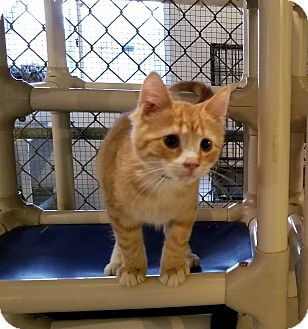 Domestic Shorthair Kitten for adoption in Geneseo, Illinois - Phelps