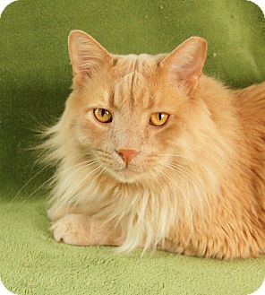 Maine Coon Cat for adoption in Colorado Springs, Colorado - Moose