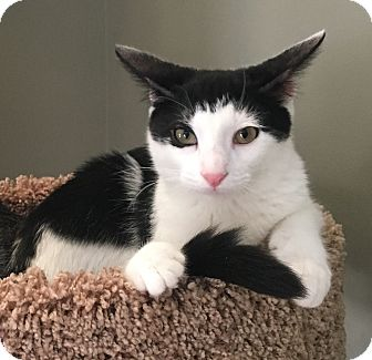 Domestic Shorthair Kitten for adoption in Houston, Texas - Wolfgang (bonded with Harmony)