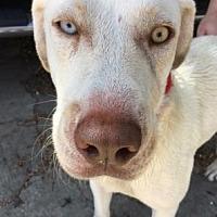 Labrador Retriever Mix Dog for adoption in Columbia, South Carolina - Ivory
