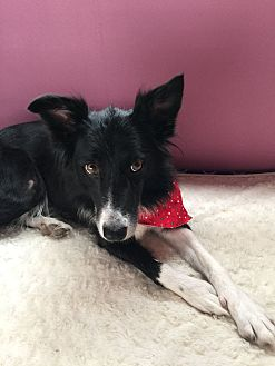 Border Collie Mix Dog for adoption in Allen, Texas - Libby