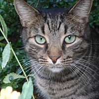 Domestic Shorthair Cat for adoption in Brooklyn, New York - Eliot