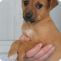 Adopt A Pet :: Colleen - Danbury, CT