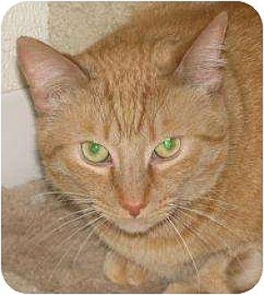 Domestic Mediumhair Cat for adoption in Woodstock, Illinois - Ben