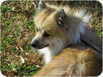 Pomeranian/Spitz (Unknown Type, Small) Mix Dog for adoption in Hesperus, Colorado - ELY
