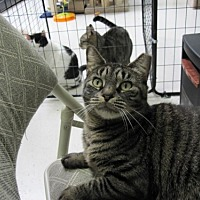 Domestic Shorthair Cat for adoption in Smithtown, New York - Baby Cat