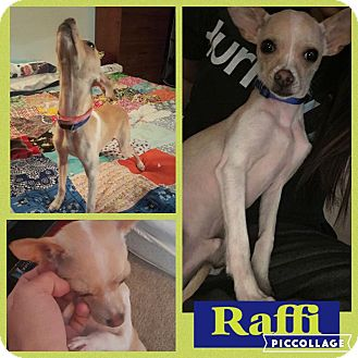Chihuahua Dog for adoption in waterbury, Connecticut - Raffi