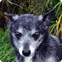 Adopt A Pet :: Henrietta-Adoption pending - Bridgeton, MO