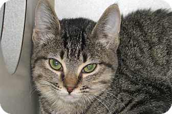 Domestic Shorthair Kitten for adoption in Ruidoso, New Mexico - Willa