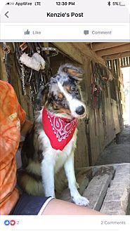 Australian Shepherd Dog for adoption in Hazard, Kentucky - Cowgirl