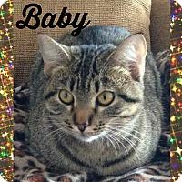 Domestic Shorthair Cat for adoption in Bentonville, Arkansas - Baby