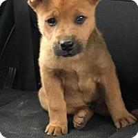 Adopt A Pet :: Adonis - Lemoore, CA