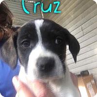 Adopt A Pet :: Cruz - Garden City, MI