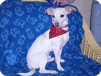 """Terrier (Unknown Type, Small) Mix Dog for adoption in New Castle, Pennsylvania - """" Alby """""""