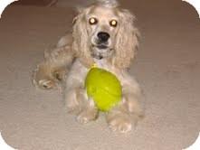 Cocker Spaniel Mix Dog for adoption in Marietta, Georgia - Marley