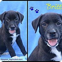 Adopt A Pet :: Brittany - Plano, TX