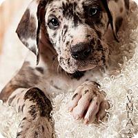 Adopt A Pet :: Ash - Albuquerque, NM