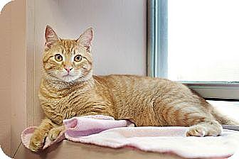 Domestic Shorthair Cat for adoption in Carencro, Louisiana - Cheyenne