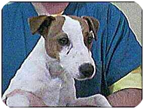 Jack Russell Terrier Dog for adoption in Provo, Utah - OPE