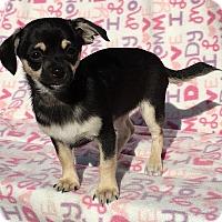 Adopt A Pet :: Belle - Temecula, CA