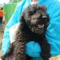 Poodle (Standard) Mix Dog for adoption in Oakton, Virginia - Poodie - Adoption Pending
