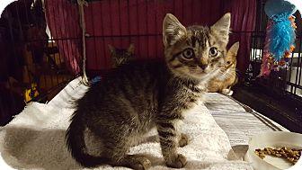 Domestic Shorthair Kitten for adoption in Irwin, Pennsylvania - Muffin