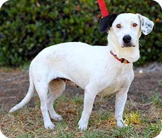Beagle/Dalmatian Mix Dog for adoption in San Diego, California - Lilly King