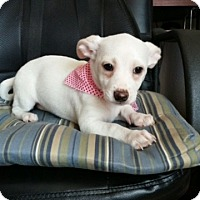 Adopt A Pet :: Cutie Pie- Guest Dog - Dallas, TX