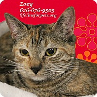 Domestic Shorthair Kitten for adoption in Monrovia, California - A Kitten Twin: ZOEY