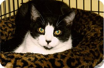 Domestic Shorthair Cat for adoption in Medway, Massachusetts - Rex