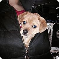 Adopt A Pet :: ava - Wanaque, NJ