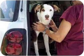 Labrador Retriever Mix Puppy for adoption in Groveland, Florida - Cookie