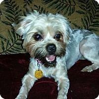 Adopt A Pet :: Grace - Arlington, TX