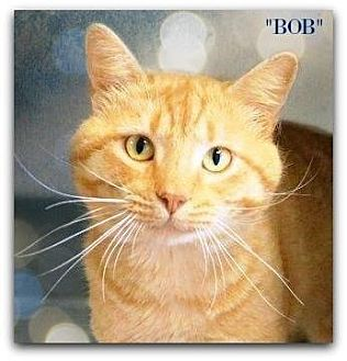 Domestic Shorthair Cat for adoption in Chattanooga, Tennessee - Bob
